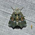 Noctuidae? (15455779866).jpg