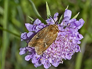 <i>Eriopygodes imbecilla</i> Species of moth
