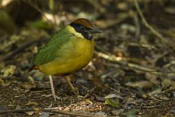 Noisy Pitta - Lamington NP - Queensland S4E6526 (22198730799).jpg