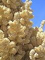 Nolina flower, Joshua Tree National Monument.jpg