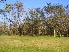 240px North Shore Miami Beach tree
