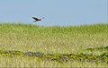 Northern Harrier (5974497879).jpg