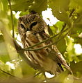 Northern Saw-whet Owl, Reifel BC 2.jpg