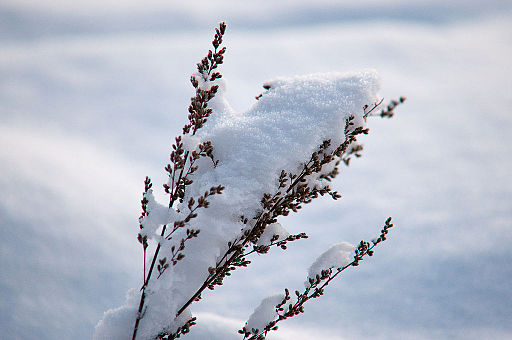 Norwegian winter snow covering a plant