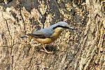 Nuthatch - Lackford Lakes (26753841945).jpg