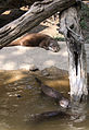 Nyíregyháza Zoo, Aonix cinerea.jpg