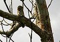 Nyctibius cf grandis Whaldener Endo.jpg