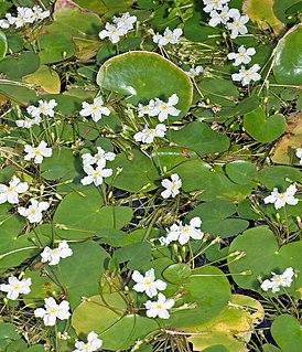 <i>Nymphoides</i> genus of plants