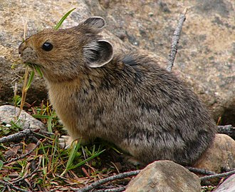 American pika - An American pika feeding on grass in the Canadian Rocky Mountains
