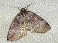 Ochropacha duplaris - Common lutestring - Совковидка точечная (40812604272).jpg