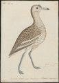 Oedicnemus crepitans - 1743-1817 - Print - Iconographia Zoologica - Special Collections University of Amsterdam - UBA01 IZ17200091.tif