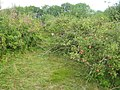 Old Orchard in Southfield Farm - geograph.org.uk - 1436165.jpg