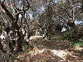 Olea europaea Grove Wardija Ridge Malta 04.jpg