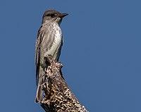 Olive-sided Flycatcher (33585416604).jpg