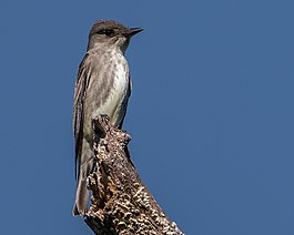 Olive-sided Flycatcher (33585416604).jpg