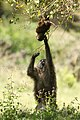 Olive babboon mama helps baby of a tree (42767331910).jpg