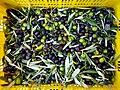 Olives a la cooperativa de Castell de Castells.jpg