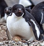 On Paulet Island.more Adelie Penguins (Pygoscelis adeliae) with young chicks.in and around the remains of the rock shelter where 23 shipwrecked men spenta desparate winter of 1903. (25903978051).jpg