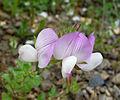 Ononis laxiflora.? FABACEAE (7048446927).jpg