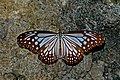Open wing position of Parantica aglea Stoll, 1782 – Glassy Tiger WLB DSC 0253.jpg