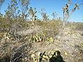 Opuntia stenopetala (5716845736).jpg
