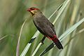 Orange breasted waxbill, Amandava subflava, at Eendracht Road, Suikerbosrand Nature Reserve, Gauteng, South Africa (31781561043).jpg