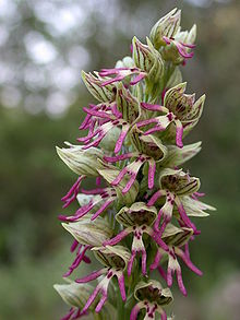 Orchis galilaea 5.JPG