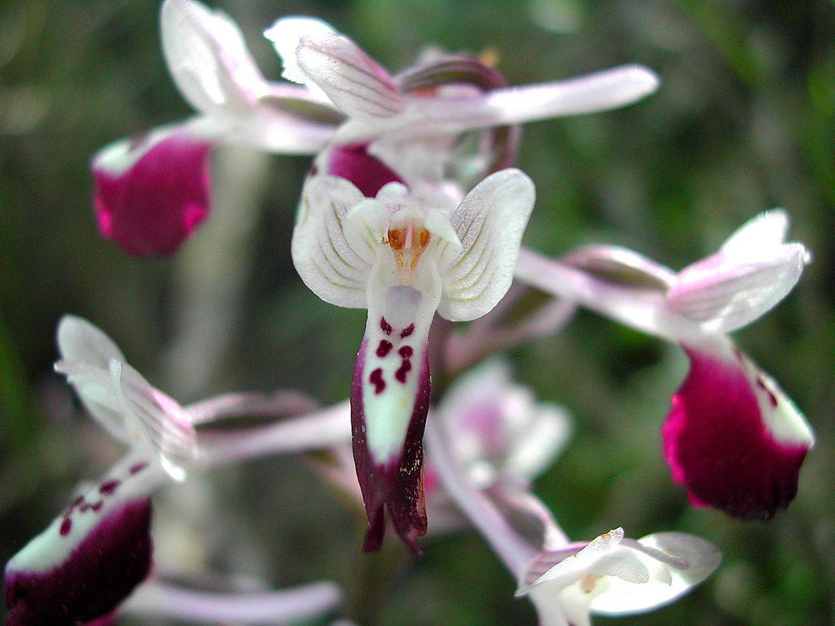 Fresh Flowers  Just Orchids White Dendrobium  amazoncom