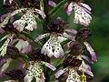 Orchis purpurea (14237241646).jpg