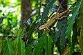 Oriental Garden lizard.jpg