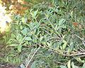 Osmanthus delavayi - Quarryhill Botanical Garden - DSC03349.JPG