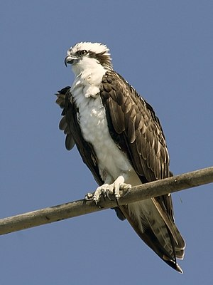 Sea Acres National Park - Image: Osprey mg 9605