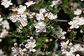 Osteomeles schwerinae var microphyla floraison.jpg