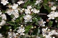 Osteomeles schwerinae var microphyla floraison