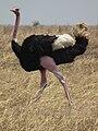 Ostrich Struthio camelus Tanzania 3724 cropped Nevit.jpg