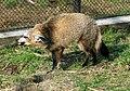 Otocyon megalotis Dvur zoo 1.jpg