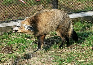 Bat-eared fox - Threat display of bat-eared fox