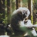 Owa Jawa Spesies Asli Indonesia.jpg