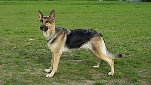 German Shepherd - German shepherd, working type, shorthair, dam.