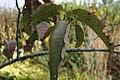 Oxydendron arboreum 1zz.jpg