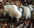 Oxyporus corticola (Fr.) Ryvarden 127533 crop.jpg