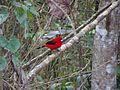 Pássaro Vermelho Vibrante.jpg
