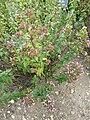 P1000277 Origanum vulgare (Wild Marjoram) (Labiatae) Plant.JPG