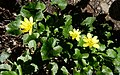P1080909-24x15-Ranunculus ficaria (40704655140).jpg