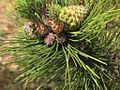 P20130507-0075—Pinus muricata—Point Reyes (8740930893).jpg