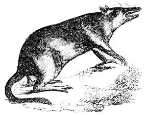 PSM V08 D435 Long nosed bandicoot.jpg