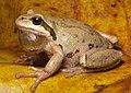 Pacific Chorus Frog (Pseudacris regilla) (8156426204).jpg