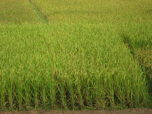 English: Paddy Field, between two mountain, Sylhet
