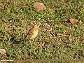 Paddyfield Pipit (Anthus rufulus) (33970880031).jpg