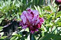Paeonia lactiflora Circus Circus 0zz.jpg